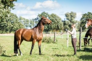 Why are horses gelded?